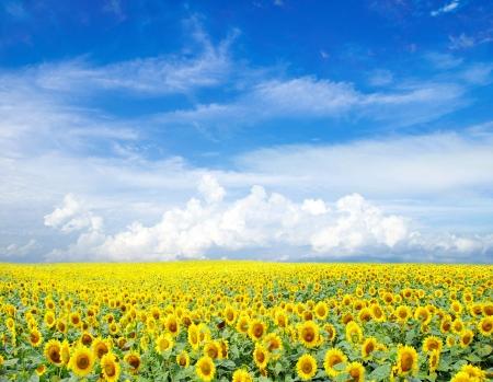 erde gelb: Sonnenblumen Feld �ber bew�lkten blauen Himmel