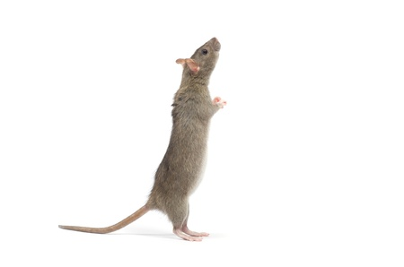 rat isolated on white background photo