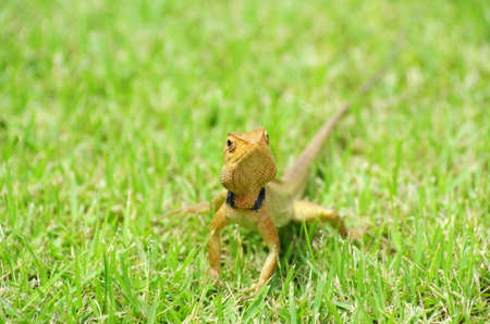 lizard strolling in the grass Stock Photo - 13201413