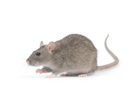 mus: råtta isolerad på vit bakgrund