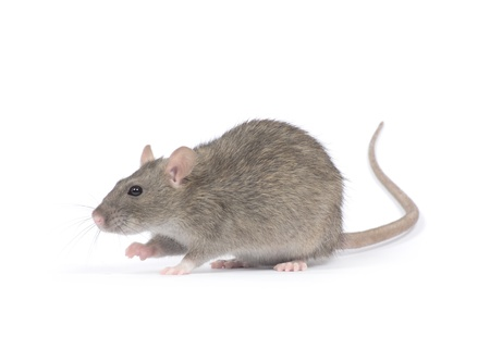 rats: ratto isolato su sfondo bianco Archivio Fotografico