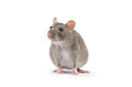 rat  isolated on white background photo