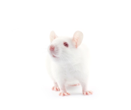 rat isolated on white background Standard-Bild