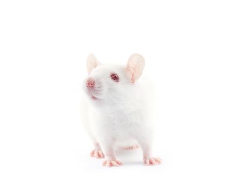 white tail: ratto isolato su sfondo bianco Archivio Fotografico