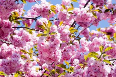 fleur de cerisier: Gros plan de la fleur de cerisier au printemps