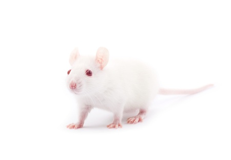 white rat isolated on white background Stock Photo - 13732650