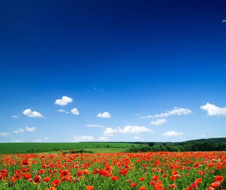 poppy flowers against the blue sky photo