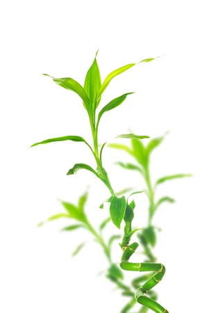 bamboo tree: green bamboo  isolated on a white background