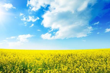 Champ jaune colza en fleur