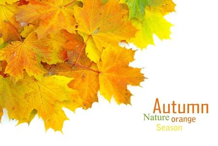 the dry leaves: oto�o las hojas de arce aislado en un blanco Foto de archivo