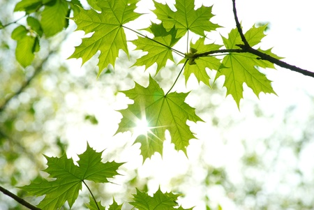 tree branches: green leaves background in sunny day Stock Photo