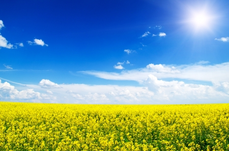 Yellow field rapeseed in bloom Stock Photo - 15636387