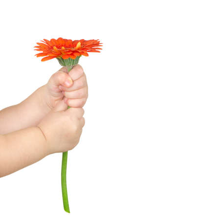 baby hand: baby hand  holding red gerber daisy isolated on white