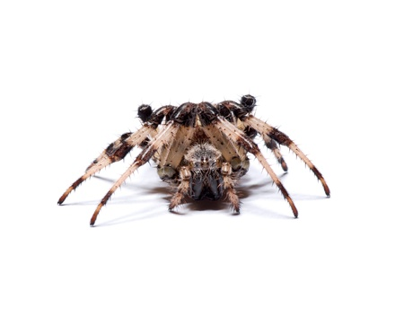 spider on a white background Stock Photo - 15635501