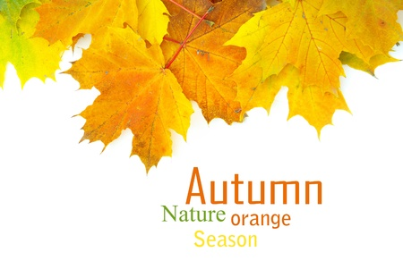 fall background: autumn maple leaves isolated on a white