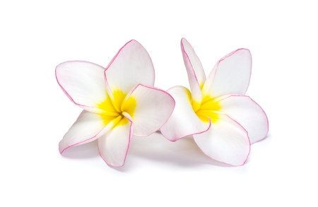 flower frangipani on white background photo