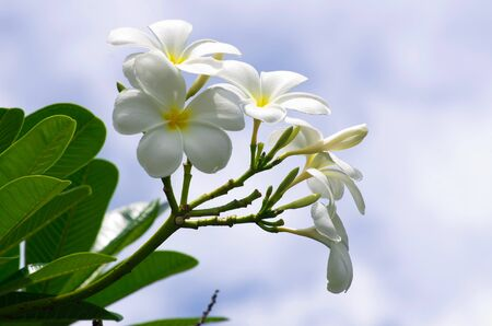 Frangipani flowers on a tree in the garden photo