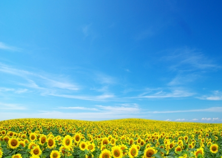 sunflower: Blooming field of sunflowers on blue sky