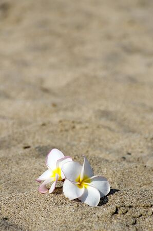 replenish:  flowers Plumeria alba on the sandy