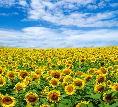 Blooming champ de tournesols sur ciel bleu