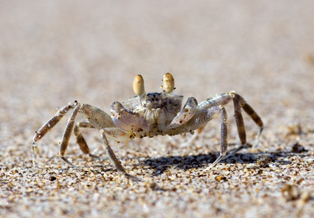 crab on the  beach sand photo