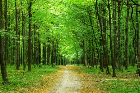 deciduous: beautiful green forest in summer