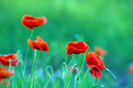 closeup of red poppy on cereal field photo