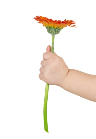 baby hand  holding  flower isolated on white photo