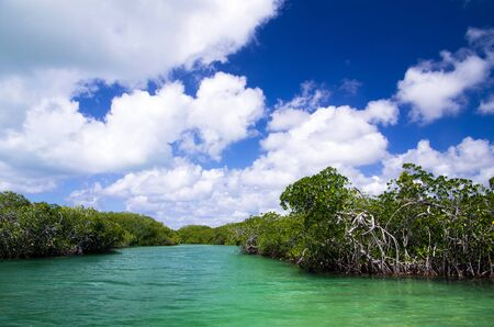 salt marsh: mangrove trees in caribbean sea