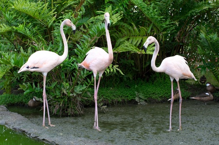 Image of  flamingos in the water photo