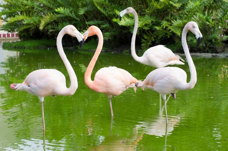 Image of four flamingos in the water Stock Photo - 18510647
