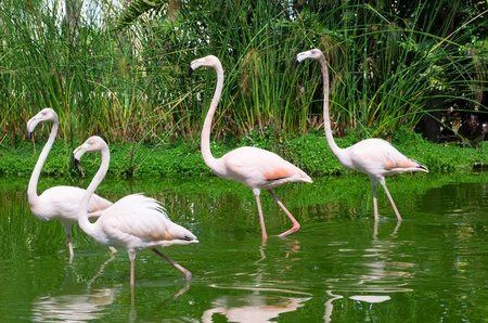 Image of four flamingos in the water photo