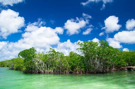 mangrove trees in caribbean sea Stock Photo - 18724443