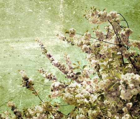 Close up of the grunge spring cherry flowers     photo