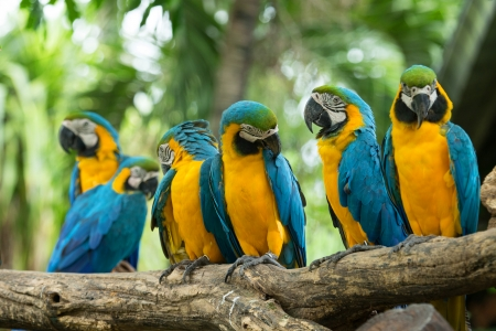 Pair of colorful Macaws parrots photo