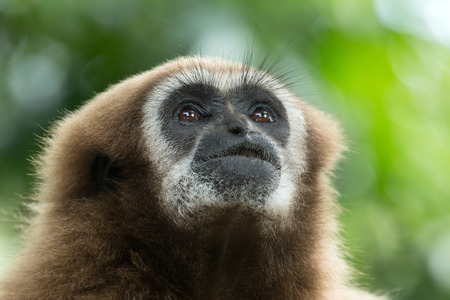 gibbon close- up face in zoo photo