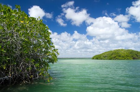 mangrove trees in caribbean sea photo