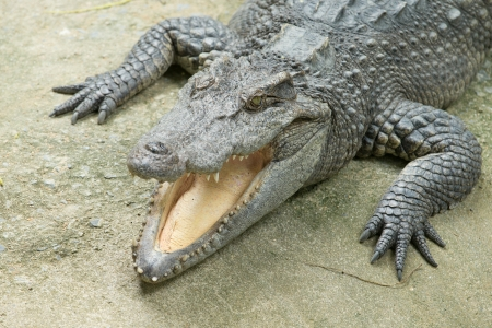 Close up of an Alligator Stock Photo - 23427842