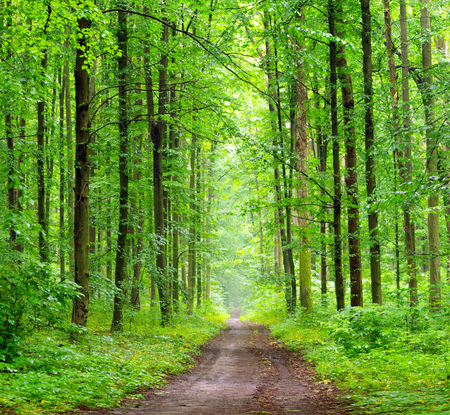 hornbeam: a path is in the green forest