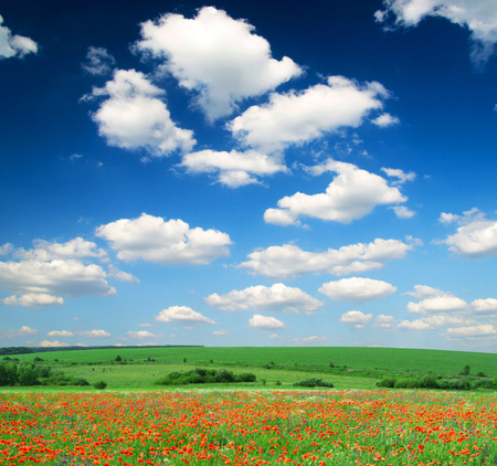 poppy flowers against the blue sky photo