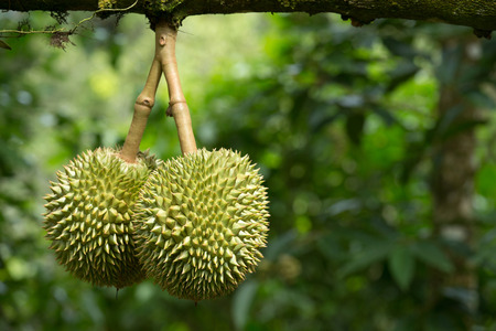 Fresh durian in the orchard photo