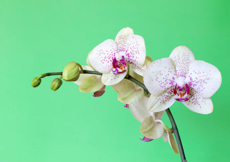 White orchid isolated on green photo