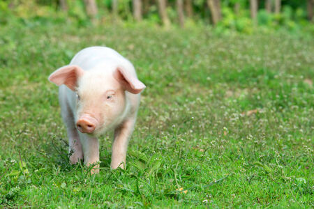 young pig: Young pig on a spring green grass