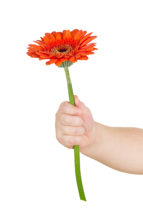 baby hand  holding red gerber daisy isolated on white photo