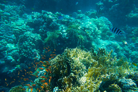 hard coral: Coral reef with soft and hard corals with exotic fishes anthias