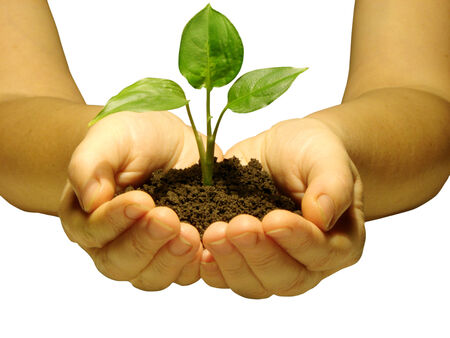 replant: Hands holding sapling in soil  on white