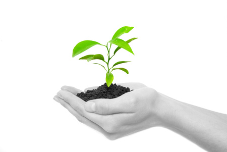 sustain: Hands holding sapling in soil  on white            Stock Photo