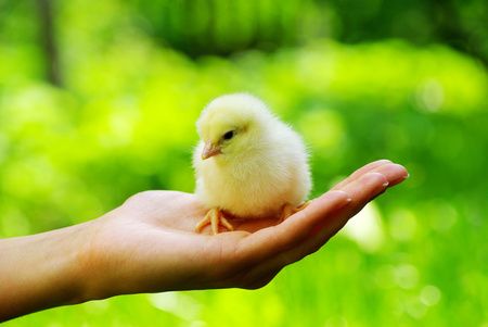 Hand hold caring for a small chicken photo