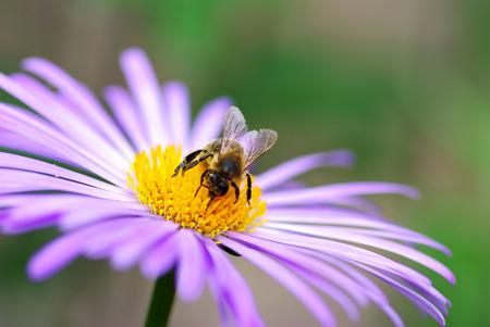 calceolaria: Immagine del fiore viola belle e api Archivio Fotografico