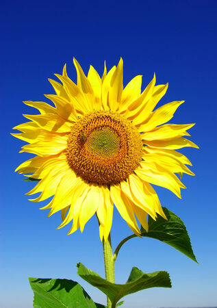 afield: Yellow sunflower in summer afield with blue sky